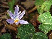 Azafrán en Forest Ground con las hojas del Hedera Imagen de archivo