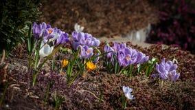 Azafrán en jardín Fotografía de archivo