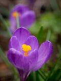 Azafrán en jardín de la primavera Fotos de archivo