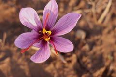 Azafrán en la floración fotos de archivo