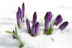 Azafrán en la nieve imagen de archivo
