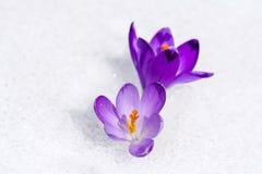 Azafrán en la nieve Foto de archivo libre de regalías