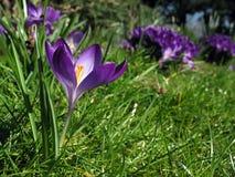 Azafrán en macizo de flores Foto de archivo libre de regalías
