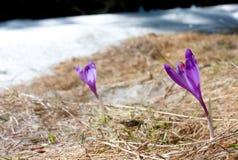 Azafrán enfocada de la primavera Foto de archivo