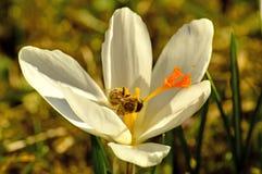 Azafrán, flor de la primavera en Alemania Imágenes de archivo libres de regalías