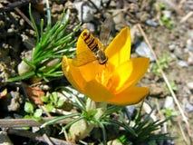Azafrán floreciente con la abeja Fotos de archivo