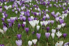Azafrán floreciente de la primavera Foto de archivo