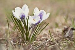 Azafrán floreciente del grupo en césped Foto de archivo libre de regalías