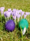 Azafrán floreciente, huevos de Pascua Imagen de archivo