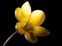 Azafrán hermosa foto de archivo libre de regalías