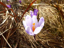 Azafrán, heuffelianus del azafrán, flover, violeta Fotos de archivo