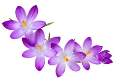 Azafrán púrpura Fotografía de archivo