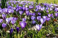 Azafrán púrpura Imagen de archivo libre de regalías