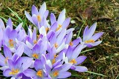 Azafrán púrpura abierta nuevamente en primavera Fotografía de archivo