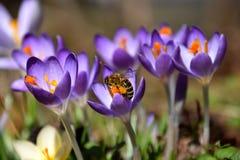 Azafrán púrpura de la primavera y una abeja que recoge el polen Foto de archivo