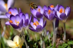 Azafrán púrpura de la primavera y una abeja que recoge el polen Fotos de archivo
