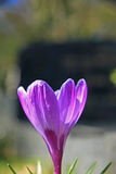 Azafrán púrpura llana Imagen de archivo libre de regalías
