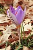Azafrán plateada en la floración Imagen de archivo
