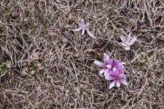 Azafrán que crece en la montaña del Cáucaso foto de archivo