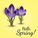 Azafrán realista de la flor de la primavera del vector Uso para las postales, banderas, fondos Herramienta de la malla de la pend ilustración del vector