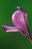 Azafrán rosada Foto de archivo libre de regalías