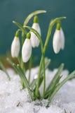 Azafrán-snowdrops Fotos de archivo