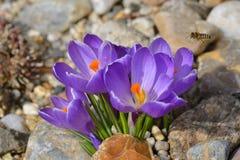 Azafrán violeta con una abeja Fotografía de archivo