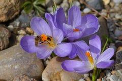 Azafrán violeta con una abeja Foto de archivo