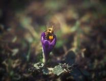 Azafrán y abeja. Imagen de archivo libre de regalías
