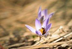 Azafrán y abeja Fotografía de archivo