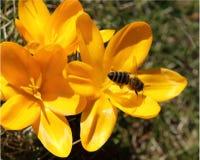 Azafrán y abeja Imagenes de archivo