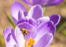 Azafrán y abeja del vuelo Foto de archivo