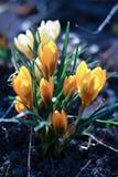 Azafranes amarillas imagen de archivo
