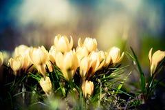 Azafranes amarillas claras en la floración fotografía de archivo libre de regalías
