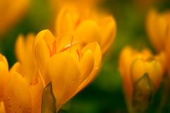 Azafranes amarillas con gotas de lluvia. imagen de archivo