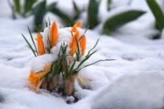 Azafranes amarillas debajo de la nieve en la primavera temprana foto de archivo