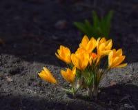 Azafranes amarillas en cama del jardín foto de archivo