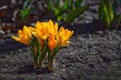 Azafranes amarillas en cama del jardín Fotos de archivo libres de regalías