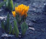 Azafranes amarillas en cama del jardín imagen de archivo