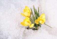 Azafranes amarillas en nieve Fotos de archivo libres de regalías