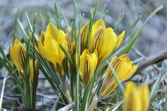 Azafranes amarillas florecientes de la primavera Fotos de archivo