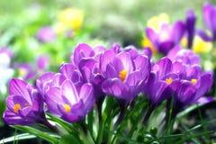 Azafranes asoleadas de la lila Foto de archivo libre de regalías