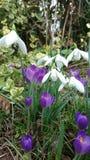 Azafranes blancas de la púrpura de los snowdrops de la primavera Imagen de archivo