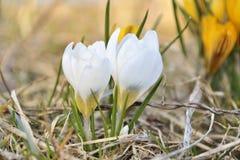 Azafranes blancas florecientes de la primavera Foto de archivo libre de regalías
