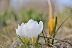 Azafranes blancas florecientes de la primavera Imagen de archivo libre de regalías