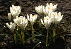 Azafranes blancas que crecen en la tierra en primavera temprana Primer spri Imágenes de archivo libres de regalías