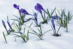 Azafranes blancas y púrpuras que crecen en un macizo de flores nevado Fotografía de archivo