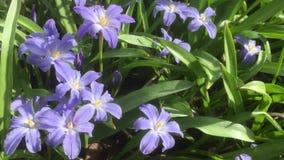 Azafranes de florecimiento de la primavera en un jardín inglés, Reino Unido almacen de metraje de vídeo