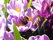 Azafranes de la primavera con la abeja de la miel Imágenes de archivo libres de regalías