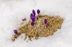 Azafranes de la primavera que florecen de la nieve Fotos de archivo